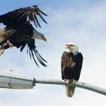 Bald_Eagle_Alaska2