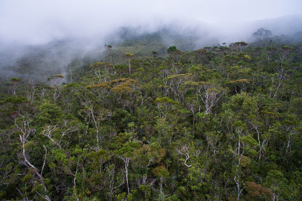 Pygmy forest with fog setting in