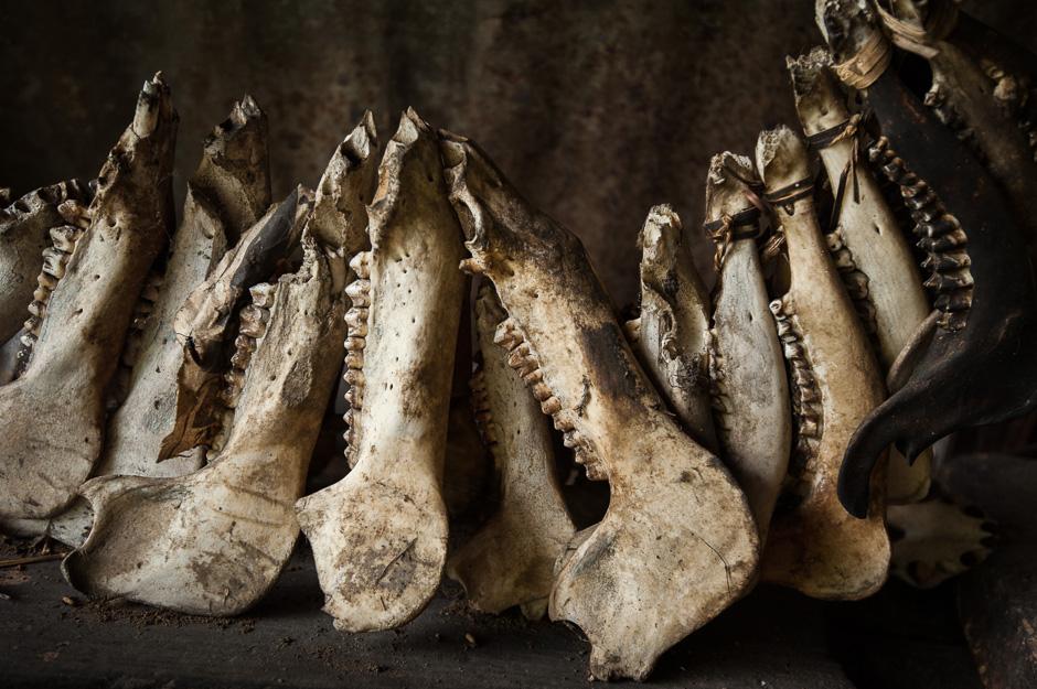 Wild Pig skulls