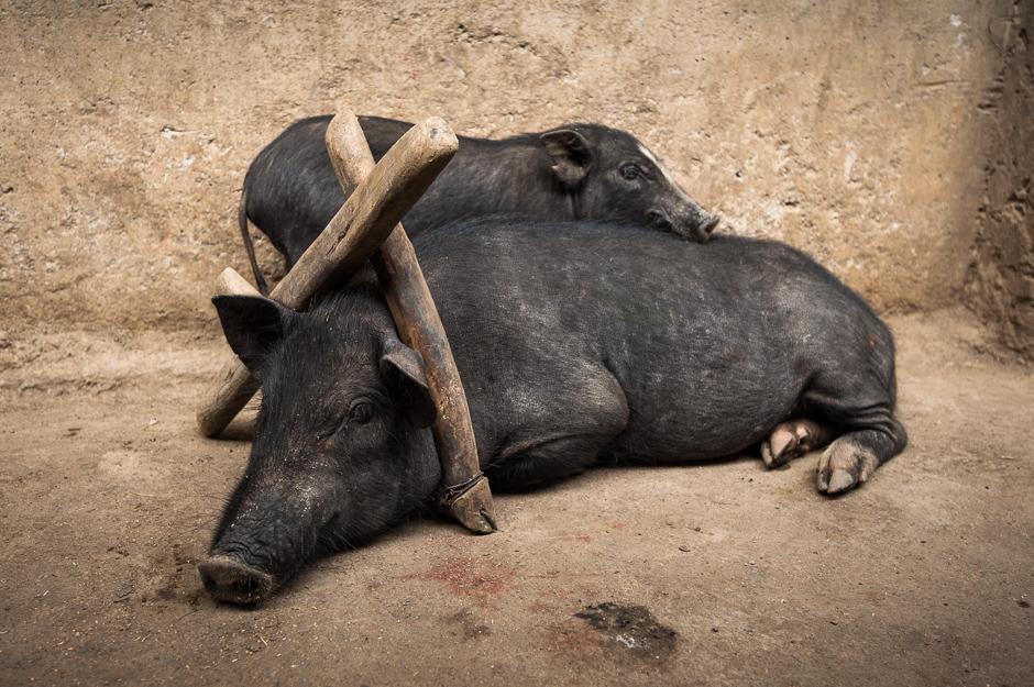 Criminal Pig
