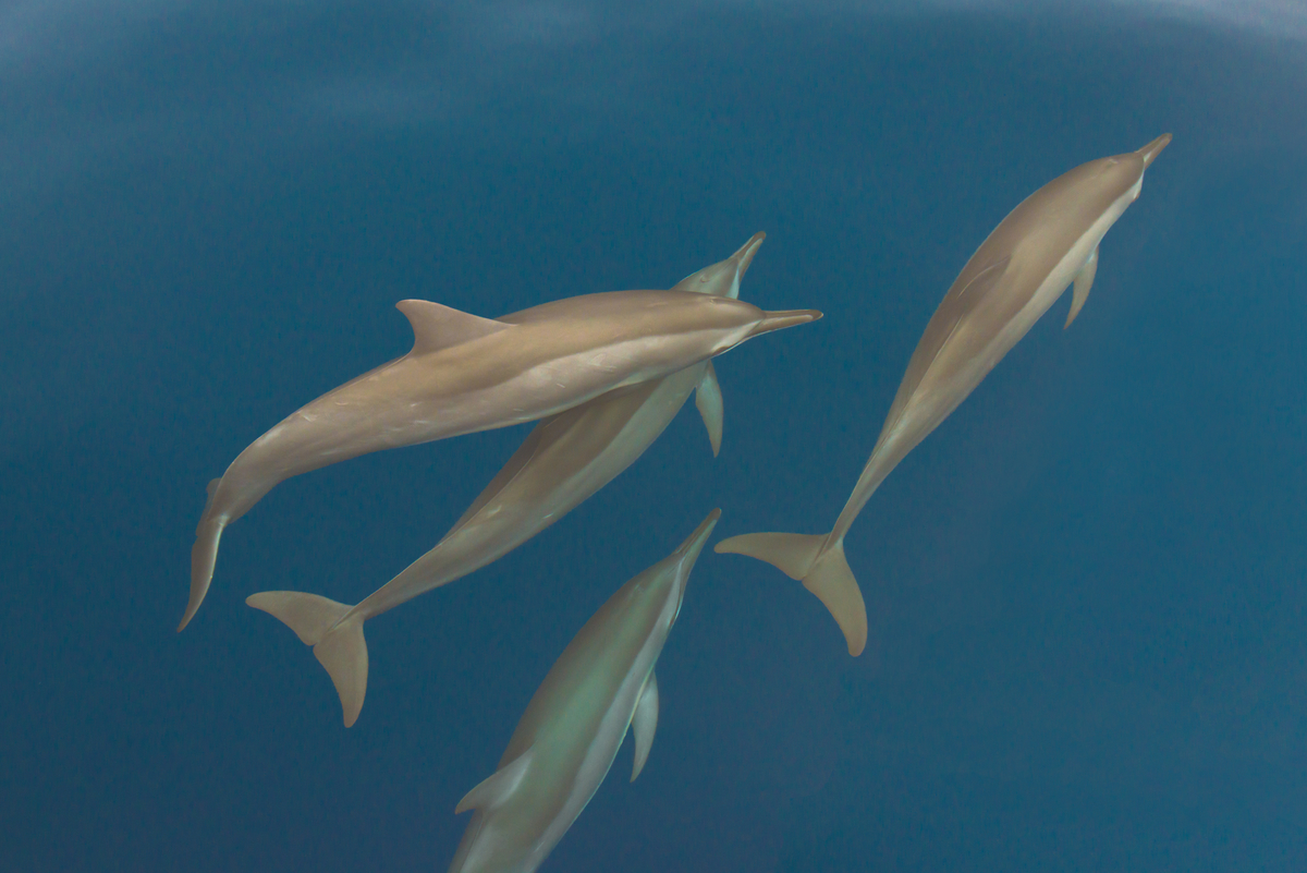 Spinner Dolphins, Tanon Straight