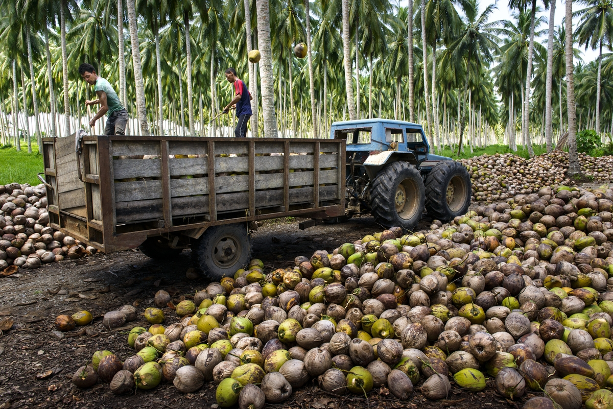 Men working on a coconut plantation