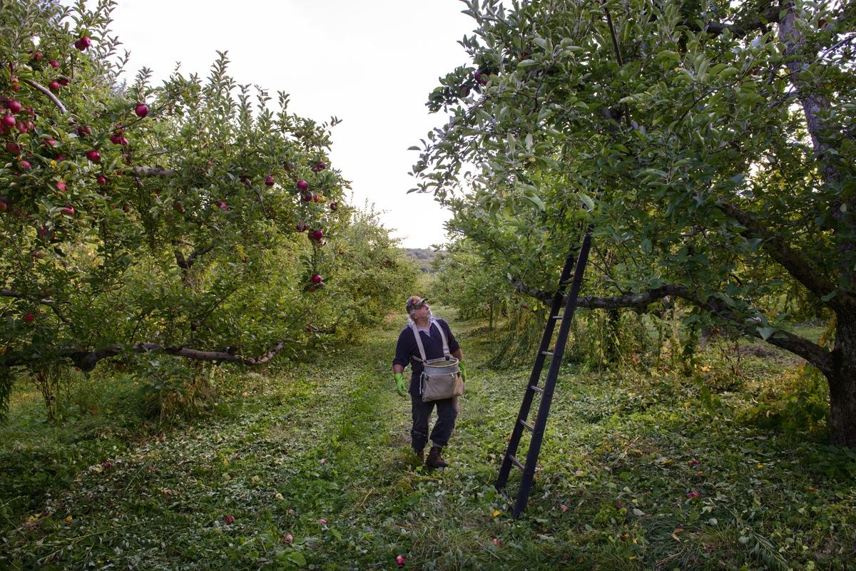 Apple picker in an orchard