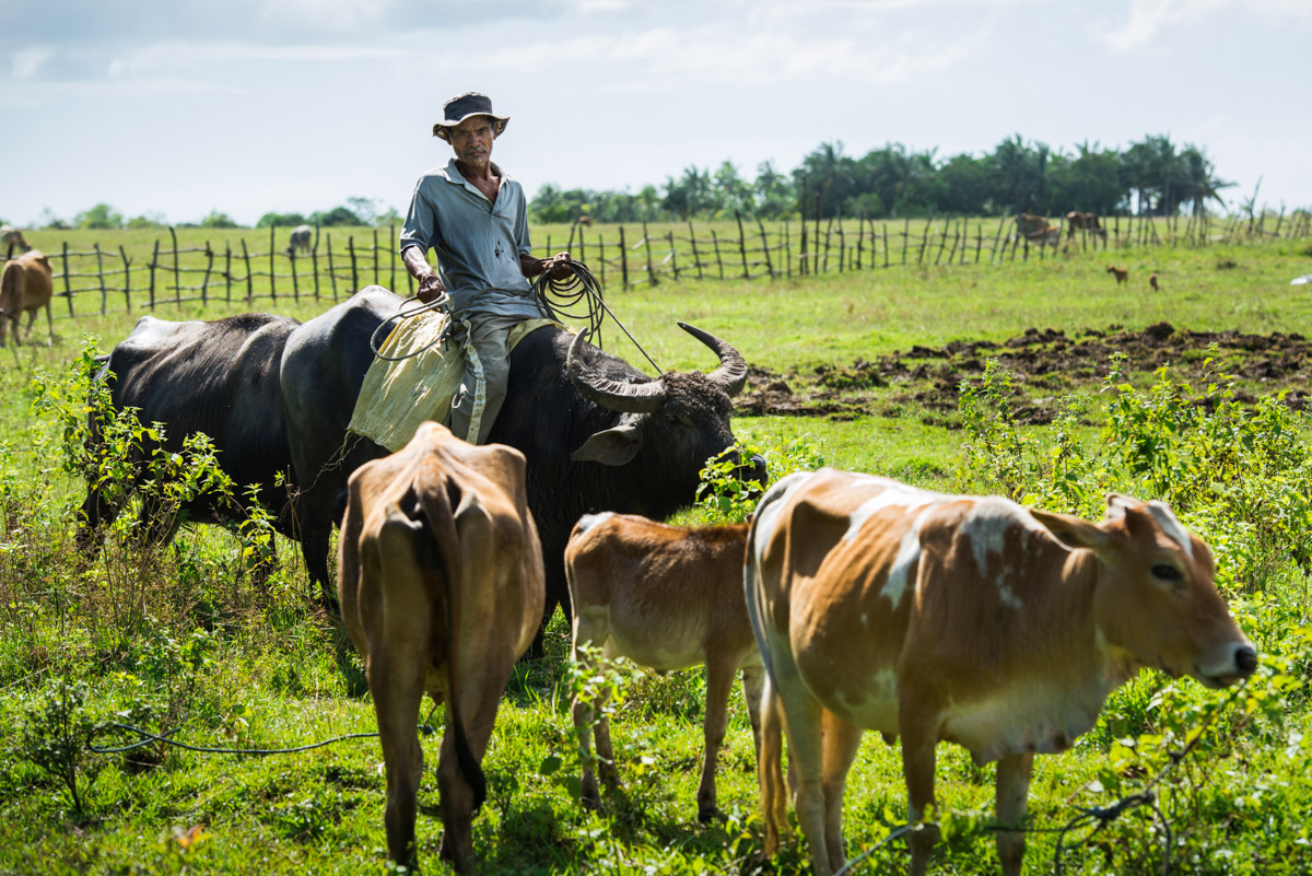 Farmer with cattle, Masbate